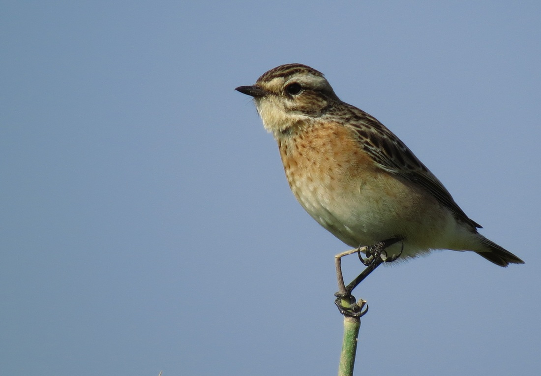 Whinchat Cyprus Tours Bird Watching Birding Ecotours Wildlife Nature