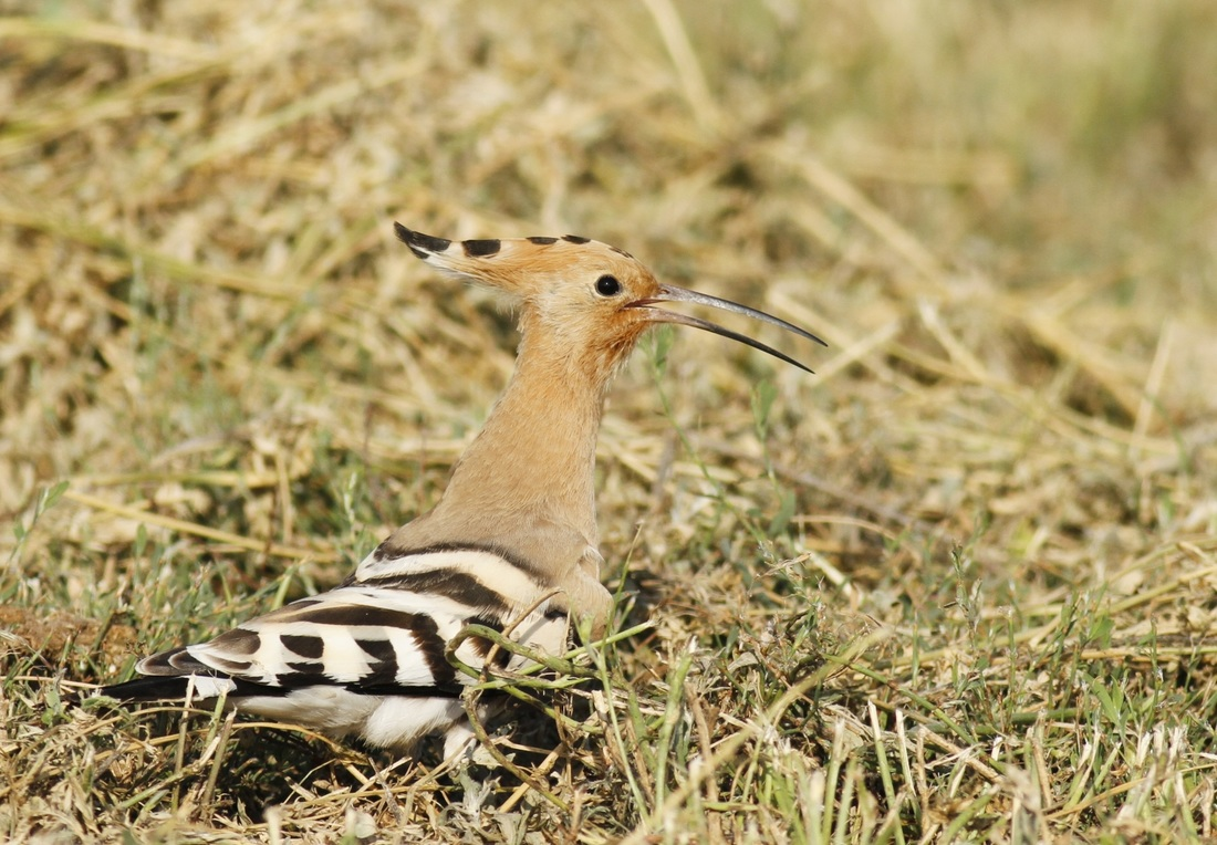 Hoopoe Cyprus Tours Bird Watching Birding Ecotours Wildlife Nature