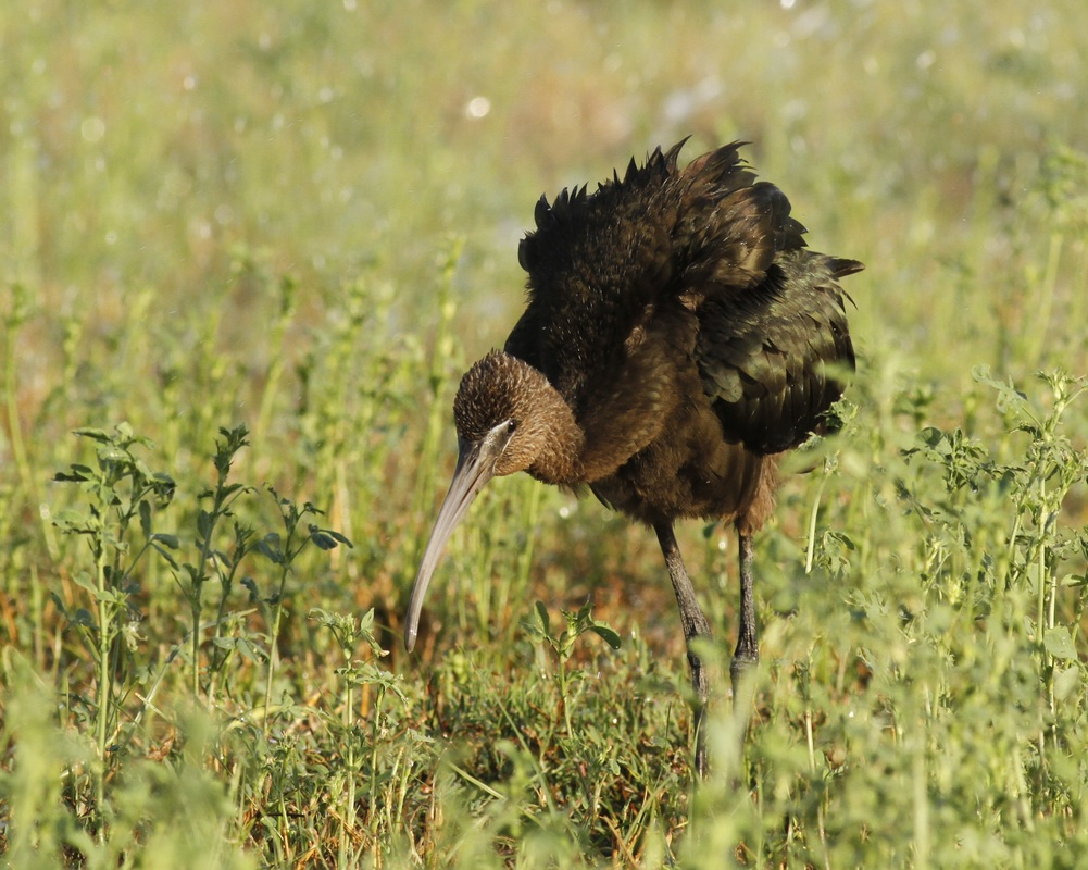 Glossy Ibis Cyprus Tours Bird Watching Birding Ecotours Wildlife Nature