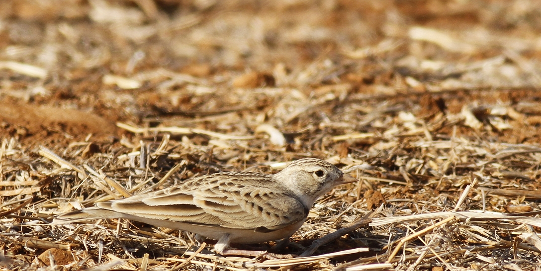 Greater Short Toed Lark Cyprus Tours Bird Watching Birding Ecotours Wildlife Nature