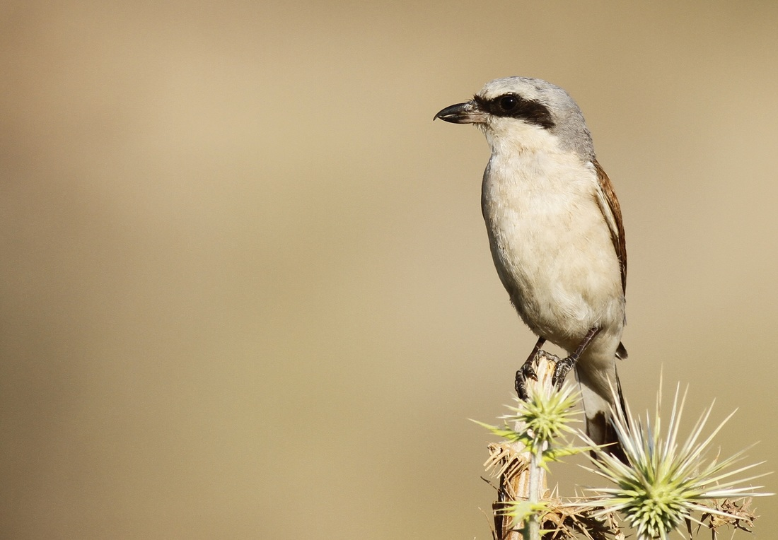 Red backed Shrike Cyprus Tours Bird Watching Birding Ecotours Wildlife Nature