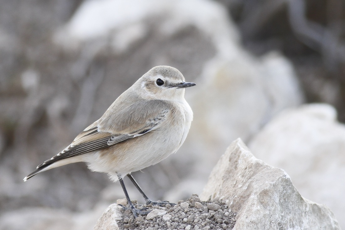 Northern Wheatear Cyprus Tours Bird Watching Birding Ecotours Wildlife Nature