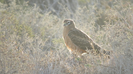 Montagu's Harrier Cyprus Tours Bird Watching Birding Ecotours Wildlife Nature