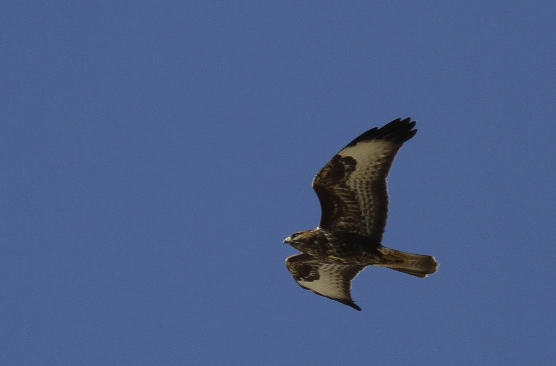 Steppe Buzzard Cyprus Tours Bird Watching Birding Ecotours Wildlife Nature