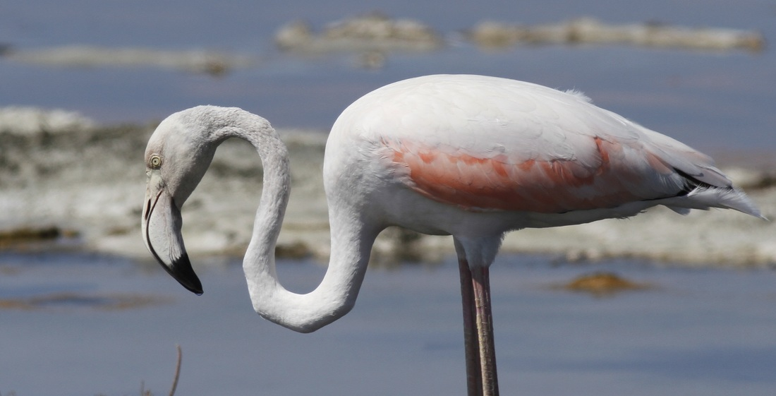 Greater Flamingo Cyprus Tours Bird Watching Birding Ecotours Wildlife Nature