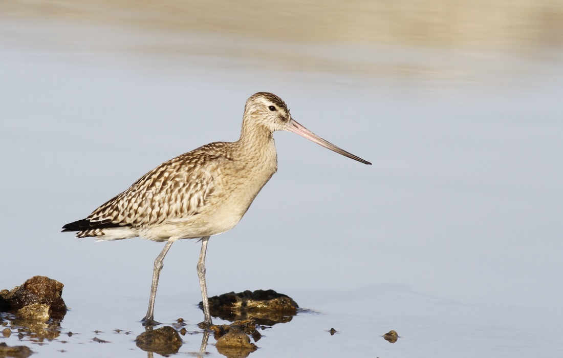 Bar Tailed Godwit Cyprus Tours Bird Watching Birding Ecotours Wildlife Nature