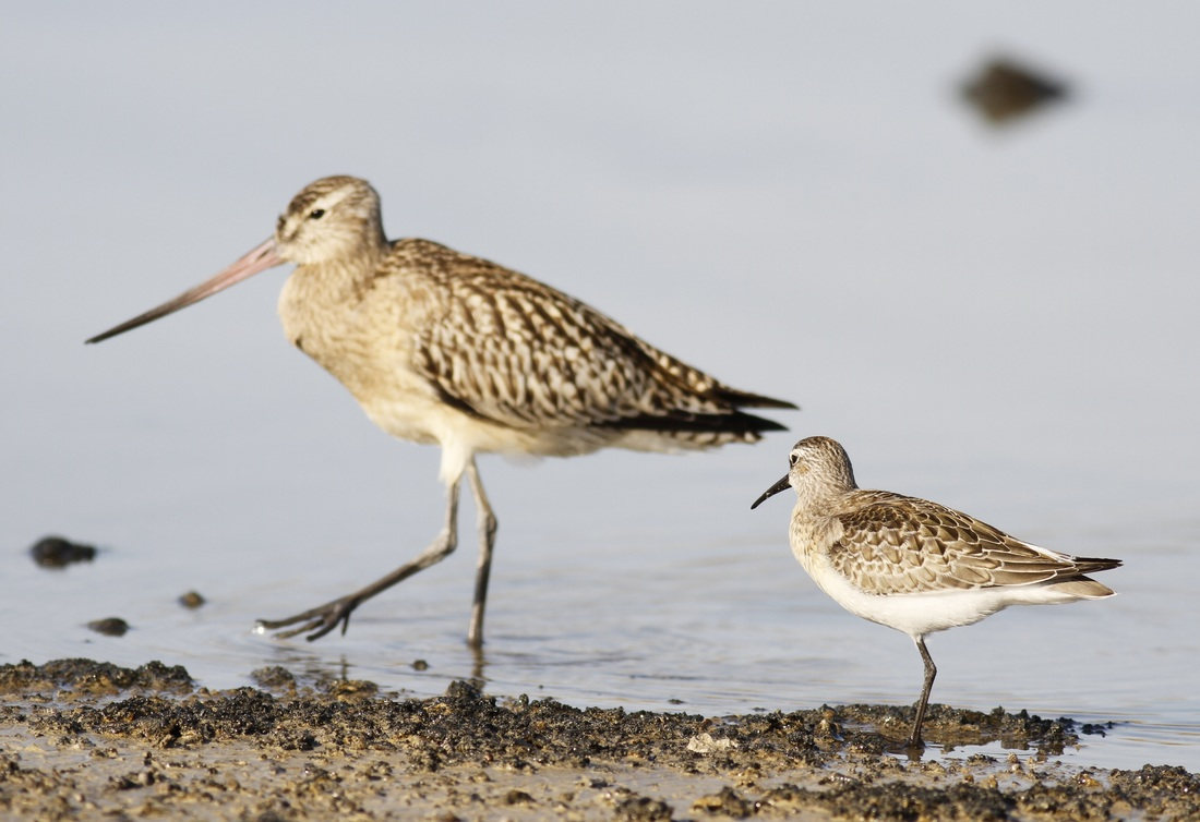 Curlew Sandpiper Bar Tailed Godwit Cyprus Tours Bird Watching Birding Ecotours Wildlife Nature