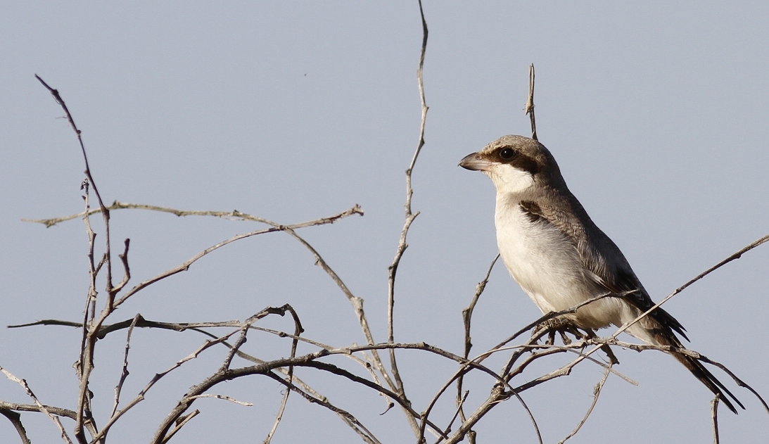 Lesser Grey Shrike Cyprus Tours Bird Watching Birding Ecotours Wildlife Nature