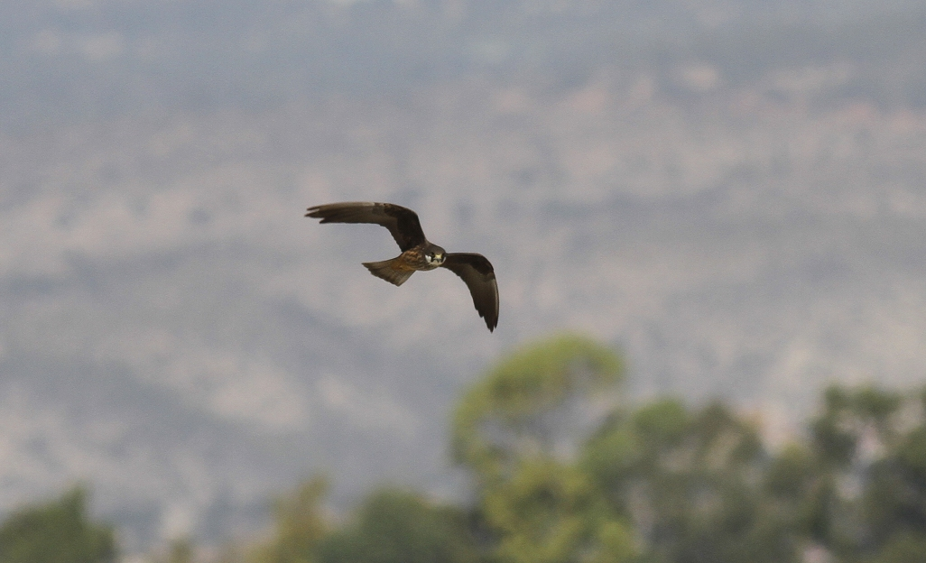 Eleonora's Falcon Cyprus Tours Bird Watching Birding Ecotours Wildlife Nature