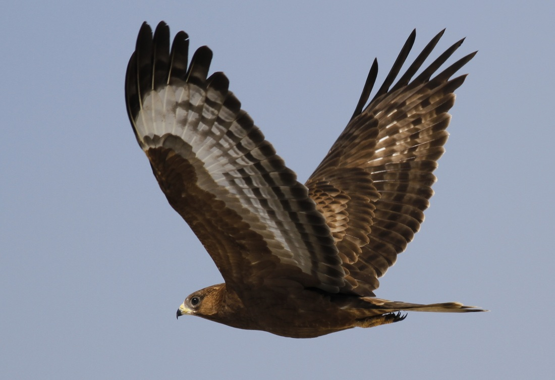 European Honey Buzzard Cyprus Tours Bird Watching Birding Ecotours Wildlife Nature