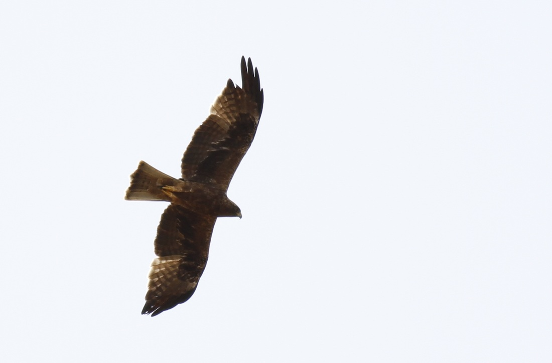 Booted Eagle Dark Phase Cyprus Tours Bird Watching Birding Ecotours Wildlife Nature