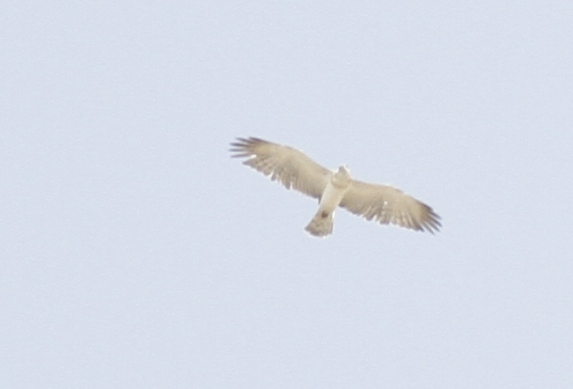 Short Toed Eagle Cyprus Tours Bird Watching Birding Ecotours Wildlife Nature