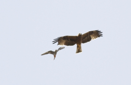 Booted Eagle Dark Phase Red Footed Falcon Mobbing Cyprus Tours Bird Watching Birding Ecotours Wildlife Nature