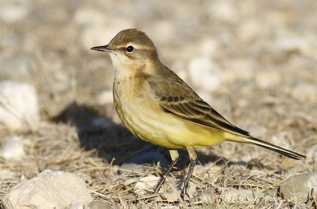Yellow Wagtail Cyprus Tours Bird Watching Birding Ecotours Wildlife Nature