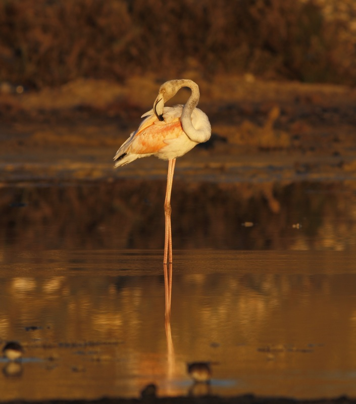 Greater Flamingo Sunrise Cyprus Tours Bird Watching Birding Ecotours Wildlife Nature