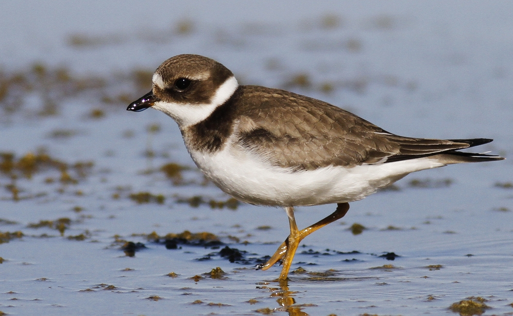 Comon Ringed Plover Cyprus Tours Bird Watching Birding Ecotours Wildlife Nature