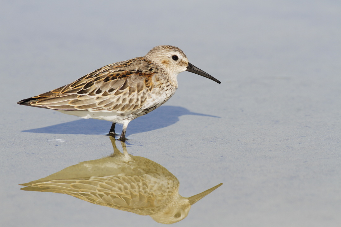 Dunlin Cyprus Tours Bird Watching Birding Ecotours Wildlife Nature