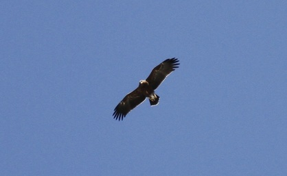 Lesser Spotted Eagle Cyprus Tours Bird Watching Birding Ecotours Wildlife Nature