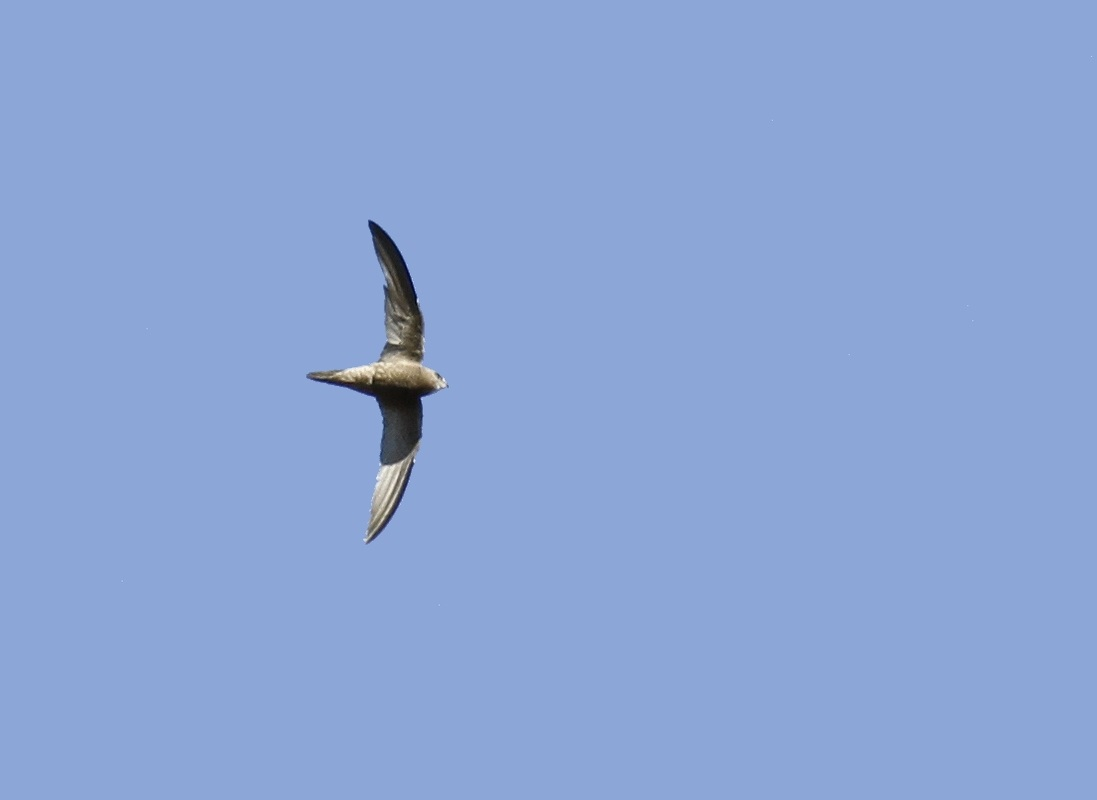 Pallid Swift Cyprus Tours Bird Watching Birding Ecotours Wildlife Nature