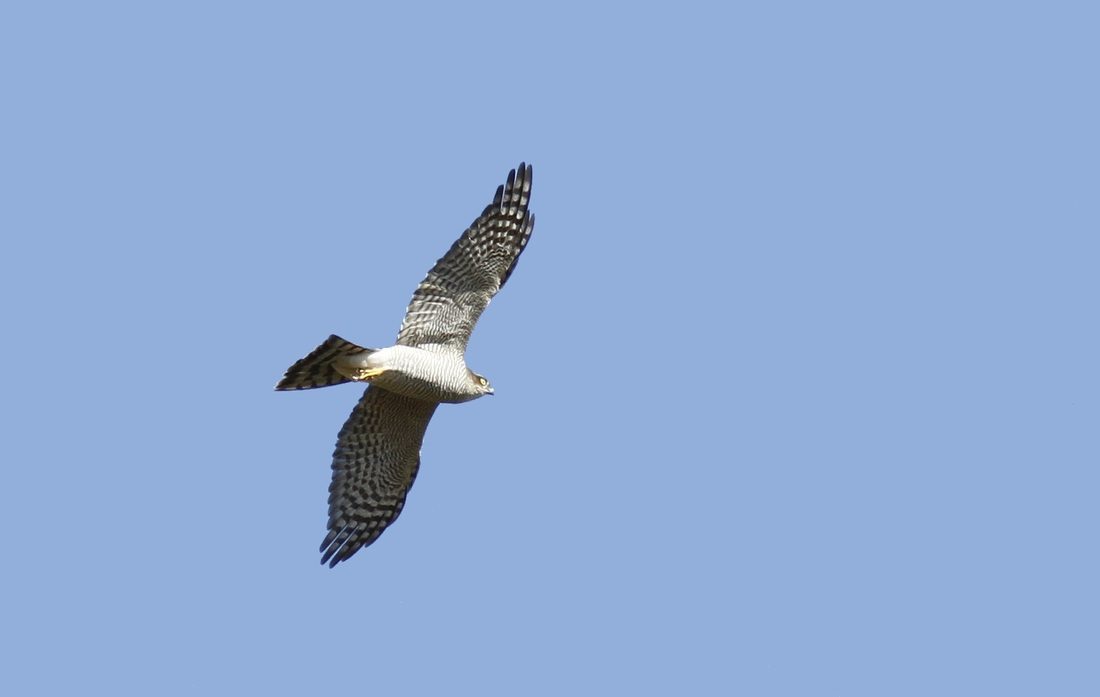 Eurasian Sparrowhawk Cyprus Tours Bird Watching Birding Ecotours Wildlife Nature
