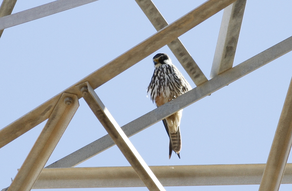 Eurasian Hobby Juvenile Cyprus Tours Bird Watching Birding Ecotours Wildlife Nature