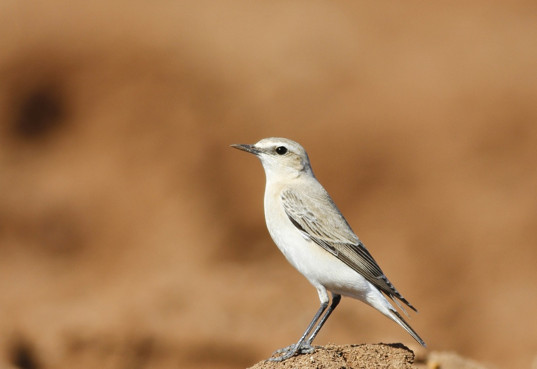 Isabelline Wheatear Cyprus Tours Bird Watching Birding Ecotours Wildlife Nature