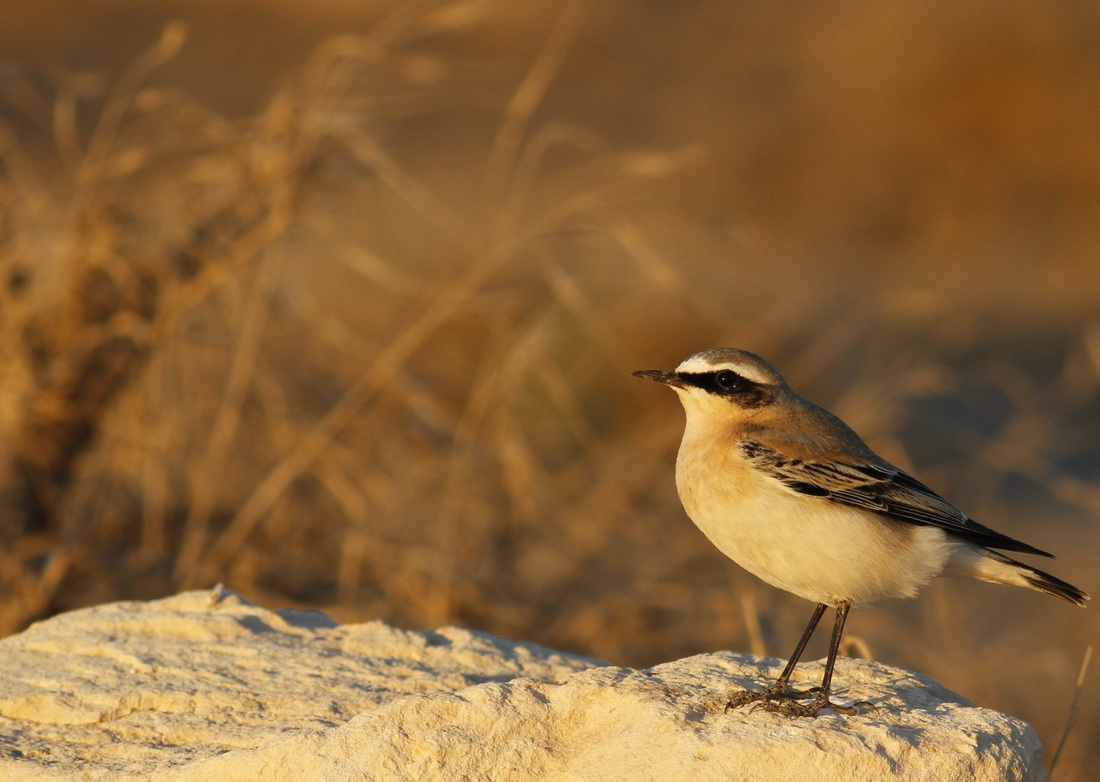 Northern Wheatear Sunset Cyprus Tours Bird Watching Birding Ecotours Wildlife Nature