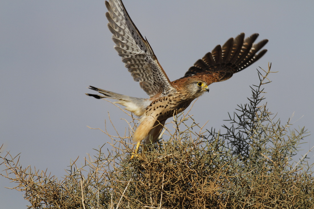 Common Kestrel take off Cyprus Tours Bird Watching Birding Ecotours Wildlife Nature