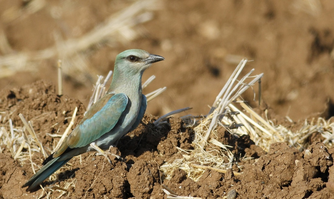 European Roller Cyprus Tours Bird Watching Birding Ecotours Wildlife Nature