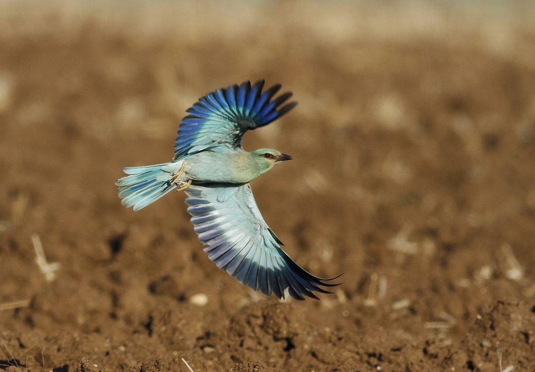 European Roller breath taking Cyprus Tours Bird Watching Birding Ecotours Wildlife Nature