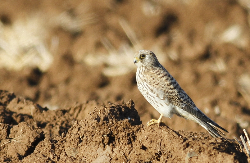 Lesser Kestrel Cyprus Tours Bird Watching Birding Ecotours Wildlife Nature