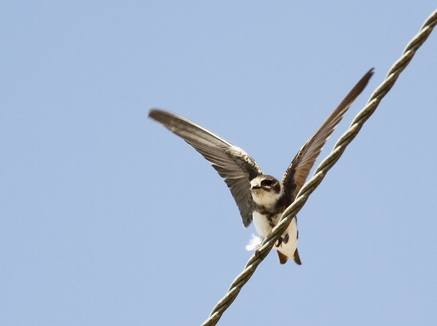 Sand Martin Cyprus Tours Bird Watching Birding Ecotours Wildlife Nature