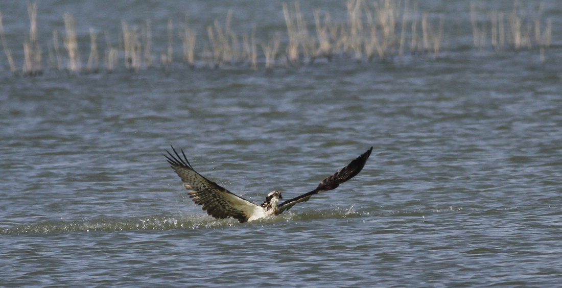 Osprey Fishing Cyprus Tours Bird Watching Birding Ecotours Wildlife Nature