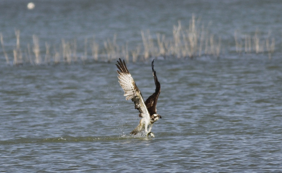 Osprey Cyprus Tours Bird Watching Birding Ecotours Wildlife Nature