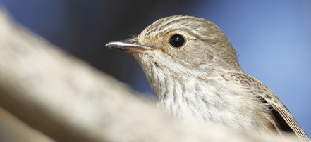 Spotted Flycatcher Portrait Cyprus Tours Bird Watching Birding Ecotours Wildlife Nature