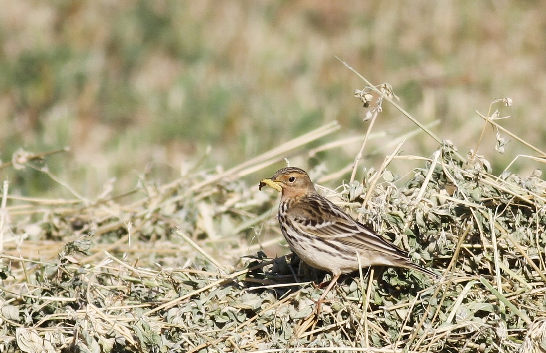 Red throated Pipit Cyprus Tours Bird Watching Birding Ecotours Wildlife Nature