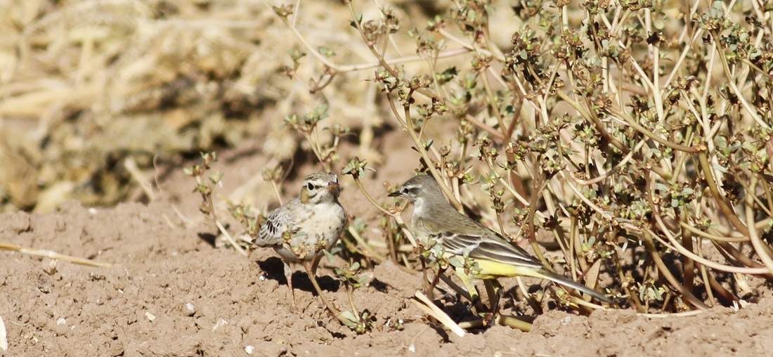 Tawny Pipit Yellow Wagtail Cyprus Tours Bird Watching Birding Ecotours Wildlife Nature