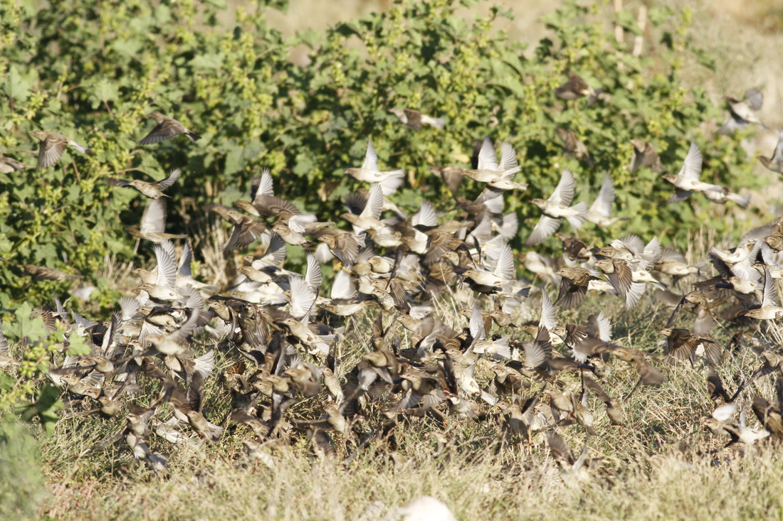 Spanish Sparrow flock Cyprus Tours Bird Watching Birding Ecotours Wildlife Nature