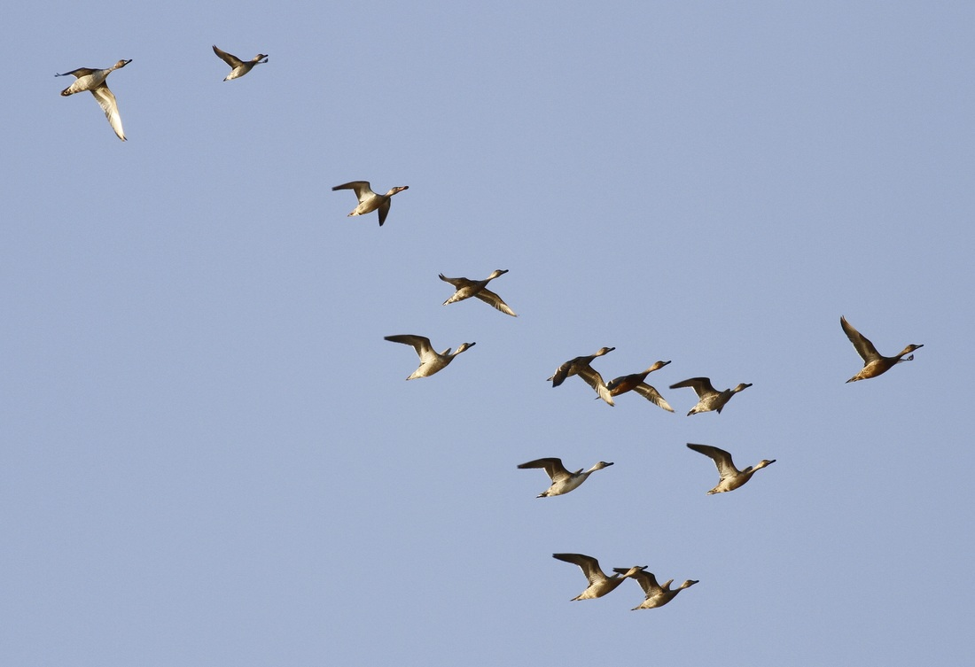 Pintail Shoveller teal Cyprus Tours Bird Watching Birding Ecotours Wildlife Nature