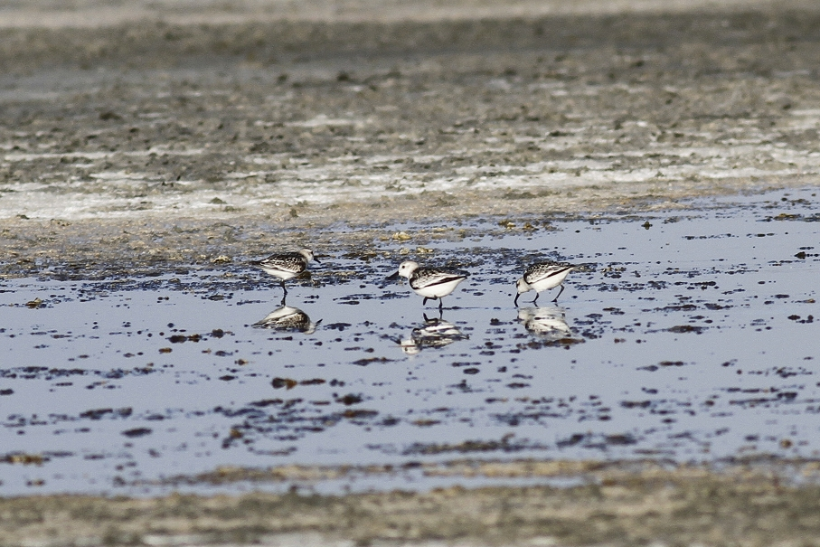 Sanderling Cyprus Tours Bird Watching Birding Ecotours Wildlife Nature