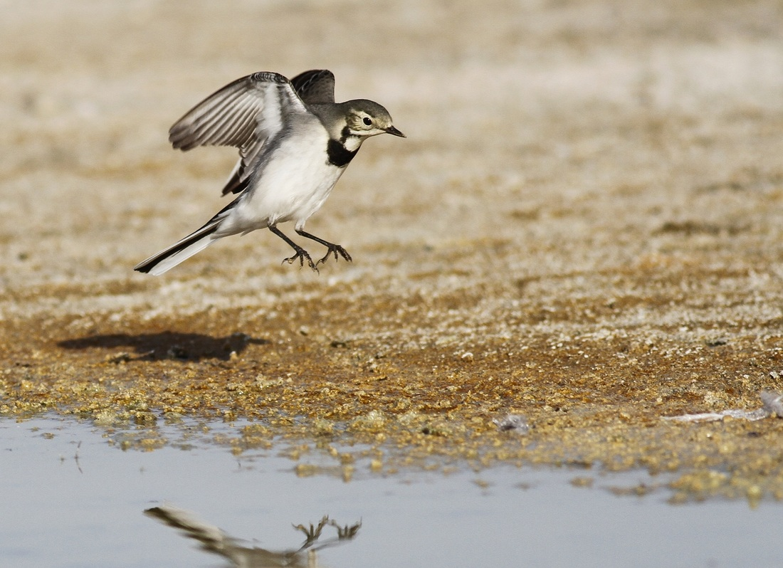 White Wagtail Cyprus Tours Bird Watching Birding Ecotours Wildlife Nature