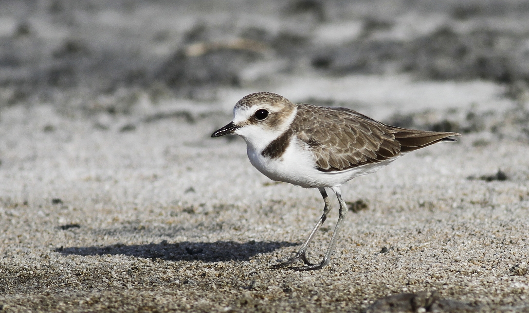 Kentish Plover Cyprus Tours Bird Watching Birding Ecotours Wildlife Nature
