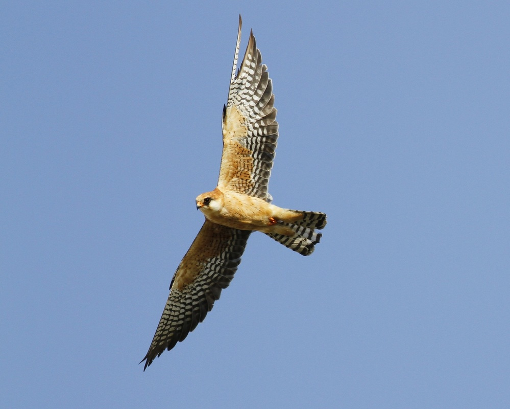 Red footed Falcon Cyprus Tours Bird Watching Birding Ecotours Wildlife Nature