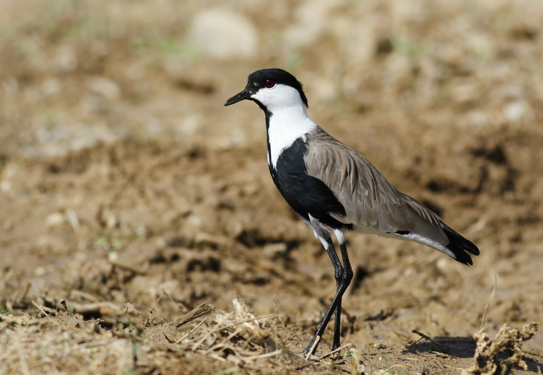 Spur Winged Lapwing Cyprus Tours Bird Watching Birding Ecotours Wildlife Nature