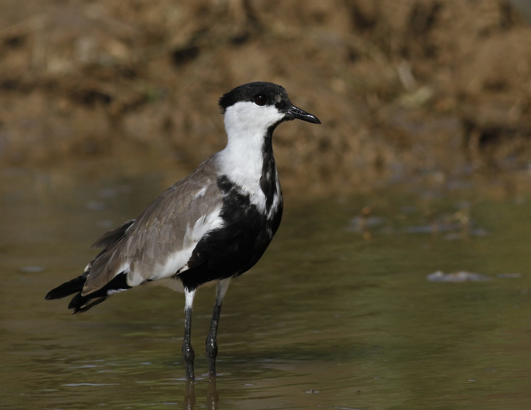 Spur Winged Lapwing Juvvenile Cyprus Tours Bird Watching Birding Ecotours Wildlife Nature