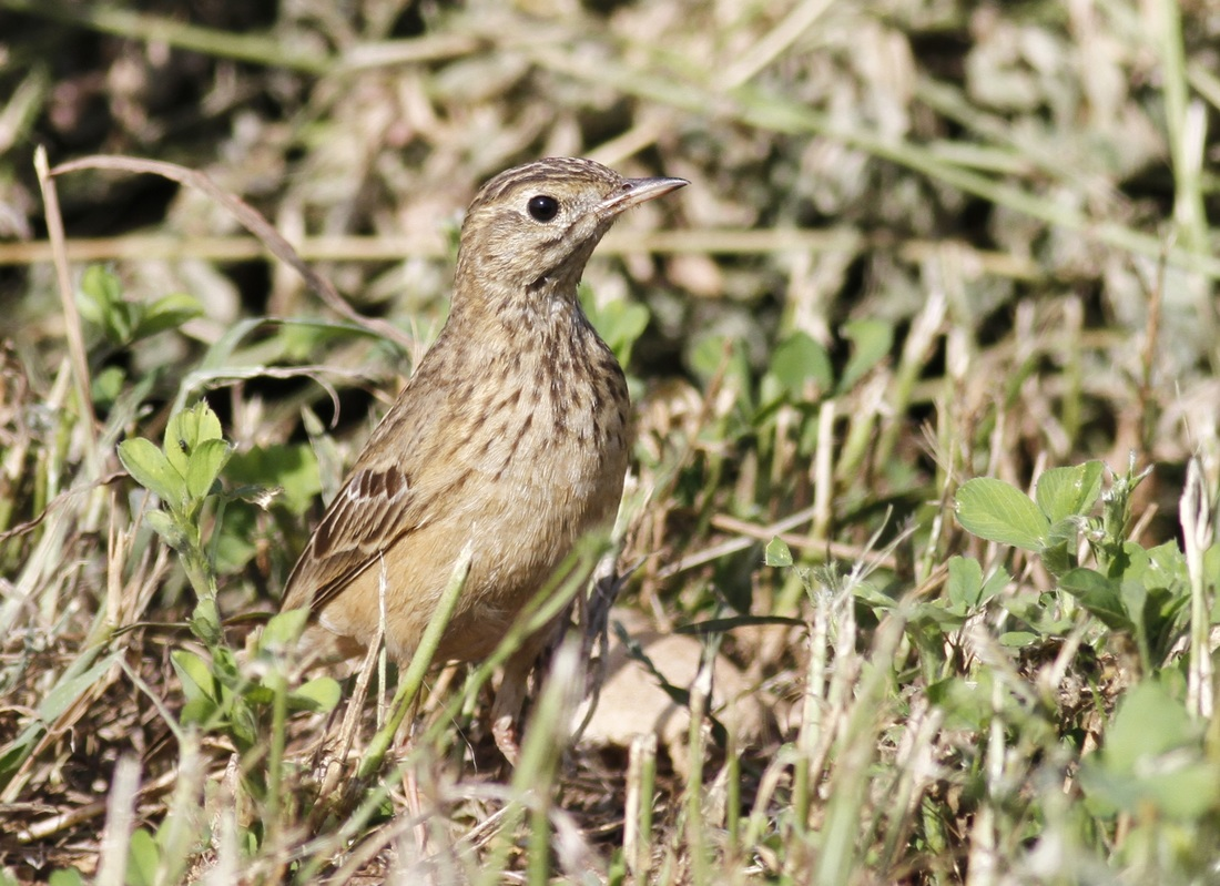 Richard's Pipit Cyprus Tours Bird Watching Birding Ecotours Wildlife Nature