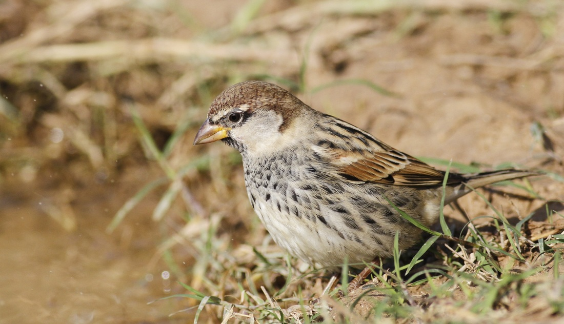 Spanish Sparrow Cyprus Tours Bird Watching Birding Ecotours Wildlife Nature