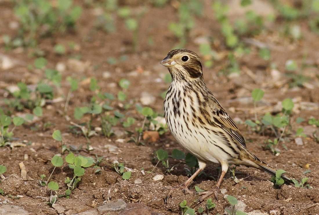 Corn Bunting Cyprus Tours Bird Watching Birding Ecotours Wildlife Nature