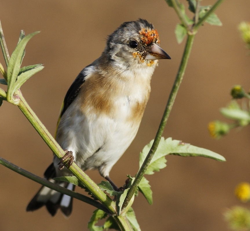 European Goldfinch Cyprus Tours Bird Watching Birding Ecotours Wildlife Nature