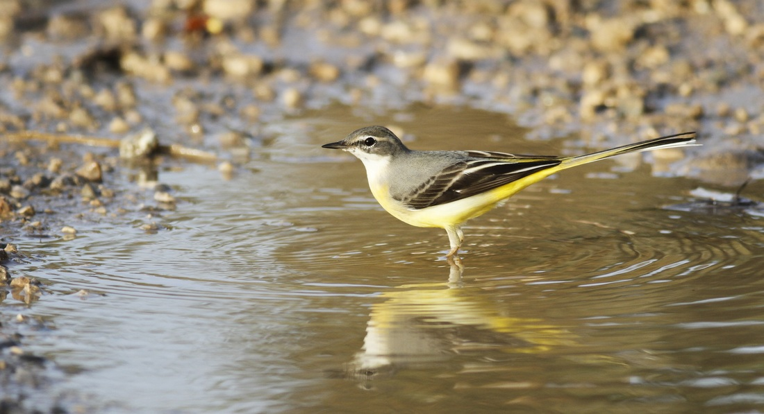 Grey Wagtail Cyprus Tours Bird Watching Birding Ecotours Wildlife Nature